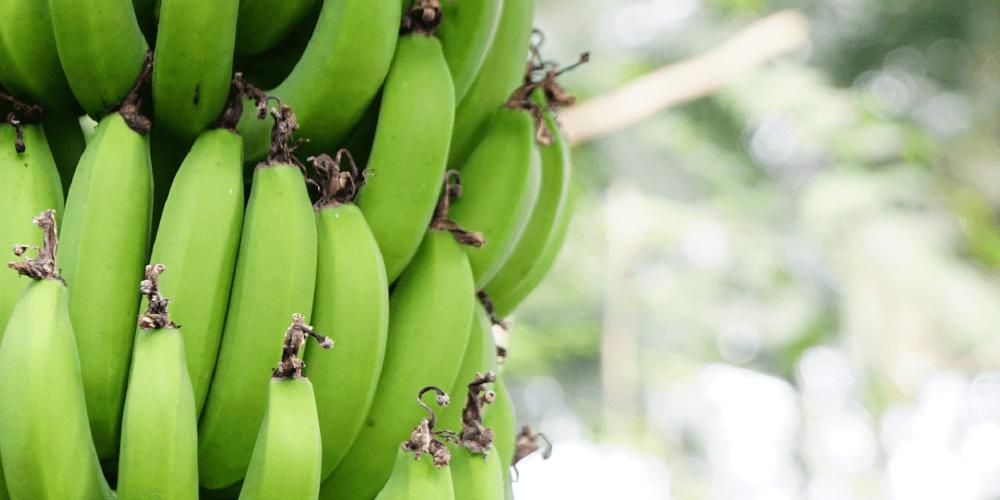 エクアドル産のプレミアムバナナ
